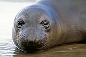 Northern elephant seal juvenile