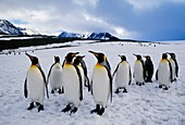 King penguins,on a snow field