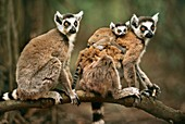 Ring-tailed lemurs with baby,Lemur catta