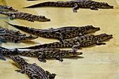 Crocodile juveniles in crocodile farm