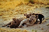 Spotted hyena mother with pups