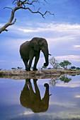 African elephant,Chobe Botswana