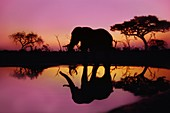 African elephant,Okavango,Botswana