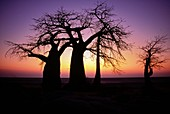 Baobab tree,Adansonia digitata