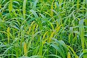 Vegetation in Senegal. Long grass