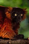 Red ruffed lemur,Varecia variegata