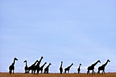 Masai giraffes,Masai Mara Reserve,Kenya