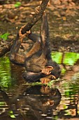 Chimpanzee looking at reflection in water