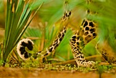 Leopard tail,Panthera pardus,Senegal