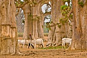 Herdsman with livestock in baobab grove