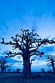 Baobab grove near Bandia Reserve,Senegal