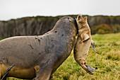 Hooker's sea lion bull grabbing pup