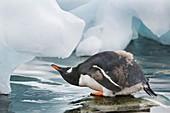 Gentoo penguin,Port Lockroy,Antarctica