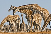 Giraffes,Namibia