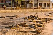 Galapagos sea lions on beach