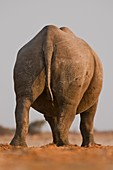 Desert black rhino,Namibia