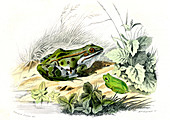Green frog and tree frog,19th century