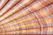 Red-ribbed scallop shell,macrophotograph