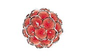 Human embryo destruction,illustration