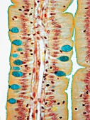 Small intestine,LM
