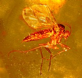Fungus gnat in amber,macrophotograph