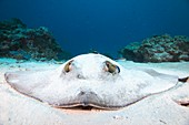 Cowtail Stingray being cleaned,Palau