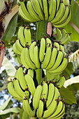 Bananas (Musa sp.) on a tree