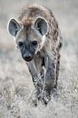 Immature Spotted Hyena