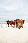 Zebu cows on a beach,Zanzibar