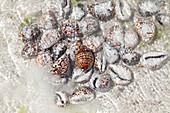Seashells prepared for sale