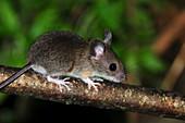 Wood mouse juvenile