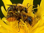 Mason bees mating