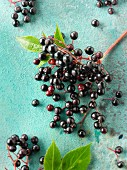 Freshly picked elderberries on a turquoise surface