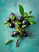 Fresh sloe berries on a twig