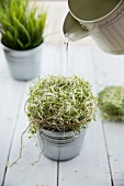 A zinc pot of alfalfa sprouts being watered