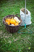Butternut squash and Hokkaido pumpkins in a basket with a rake and a sack of hay
