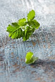 Fresh lemon balm on a blue wooden background