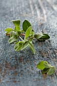 Fresh marjoram on a blue wooden background