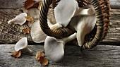 Frisch geerntete graue Austernpilze im Korb