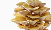 Fresh picked edible yellow or golden oyster mushrooms (Pleurotus citrinopileatus) in a grow box against a white background