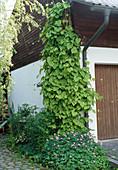 ARISTOLOCHIA durior (Pfeifenwinde)