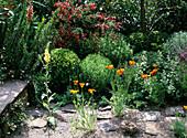 Eschscholzia californica / Schlafmützchen zwischen den