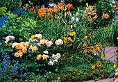 Physocarpus opulifolius 'Darts Gold', Rosa 'Tequila' - Beetrose