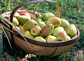 Basket of pears 'Early of Treveaux'