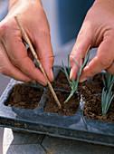 Stecklingsvermehrung von Dianthus caesius / Nelken: 2/5