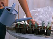 Stecklingsvermehrung von Dianthus caesius / Nelken: 4/5