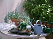 Stecklingsvermehrung von Dianthus caesius / Nelken: 0/5