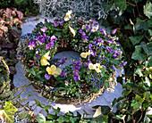 Pflanzenring aus verrottbarem Material: Viola cornuta / Horn-