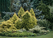 Rundes Beet mit Chamaecyparis lawsoniana 'Golden Wonder'