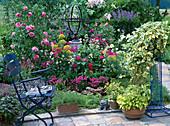 Rose'Leonardo da Vinci', Centranthus / Spornblume